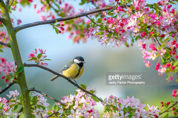 a bluetit garden bird parus major. resting on the branch of a crab apple tree with spring blossom - frühling stock-fotos und bilder