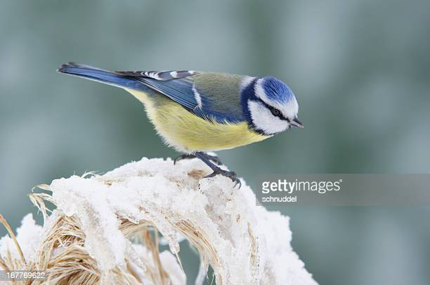 bluetit in winter - bluetit stock photos and pictures