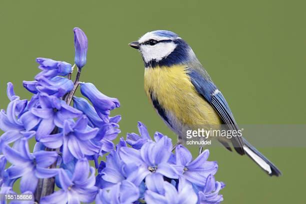 Bluetit on a blue hyacinth