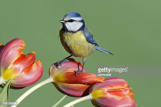 bluetit on tulips - bluetit stock photos and pictures