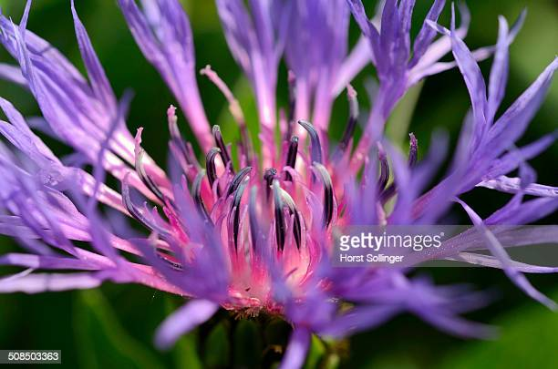 Blue-violet flower of the Perennial Cornflower or Montane Knapweed -Centaurea montana L.-