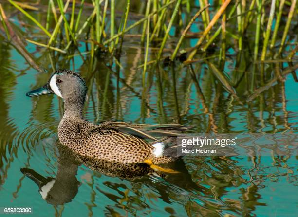 Blue-winged Teal, a Duck, (Anas discors) swimming in Green Cay Wetlands in Florida.