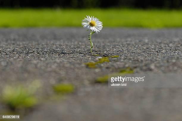 Blume, Blumen, Bl¸te, Bl¸ten, G‰nseblume, G‰nseblumen, G‰nsebl¸mchen, wei?, wei?e, Asphalt, Riss, Risse, Natur, wachsen, wachsende, Hoffnung, Stadt,...