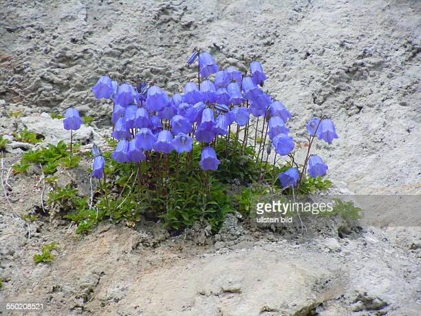 Blume im Hochgebirge des Naturparks Tiroler Lechtal aufgenommen bei Holzgau am 23 Juli 2013