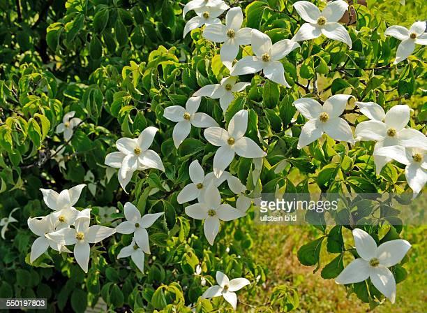 Blumenhartriegel ein weiss blühendes Ziergehölz aus Ostasien