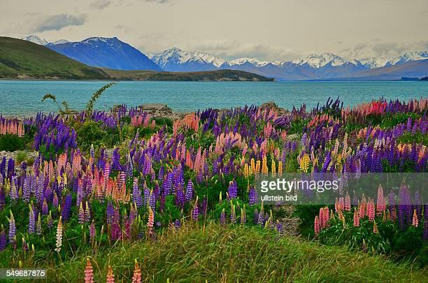 Blumenpracht am Lake Tekapo, Blick ueber den See zu den schneebedeckten Gipfeln der Suedalpen