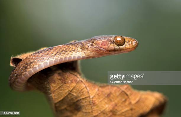 Blunthead tree snake (Imantodes cenchoa) on dry plant, Amazon rainforest, Canande River Nature Reserve, Choco forest, Ecuador