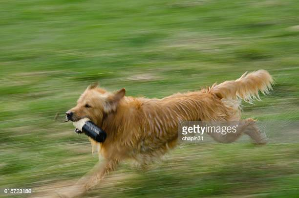 Blurred Golden Retriever Running with Training Dummy