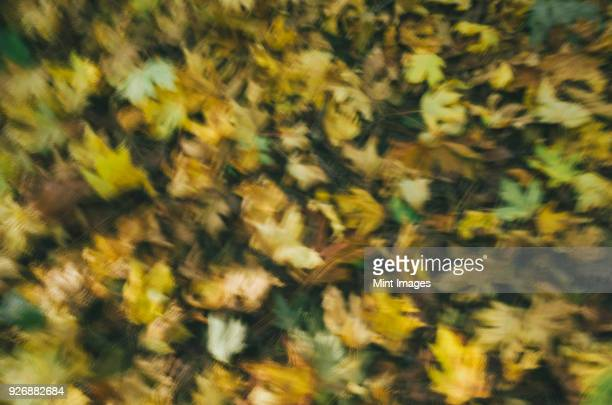 Blurred motion abstract of Bigleaf maple leaves in autumn, Acer macrophyllum.