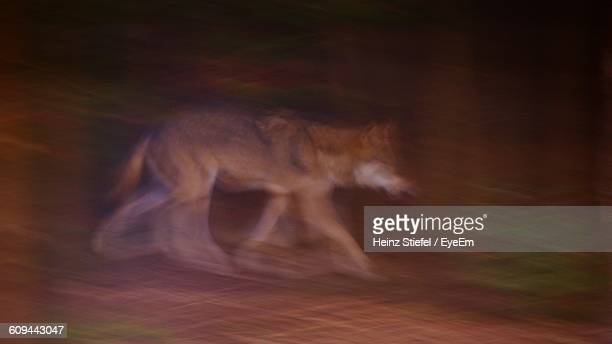 Blurred Motion Of Wolf On Field At Night