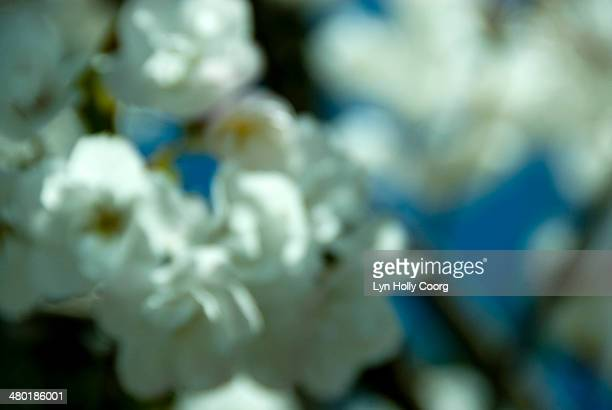 blurred white cherry blossom - lyn holly coorg stock photos and pictures