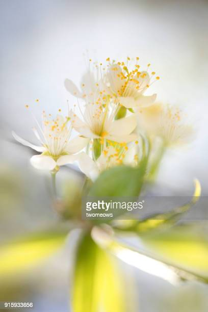 blurry peach blossoms close up image. - peach flower stock pictures, royalty-free photos & images