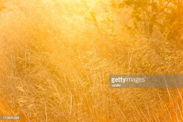 Blurry photo of a golden field of grass