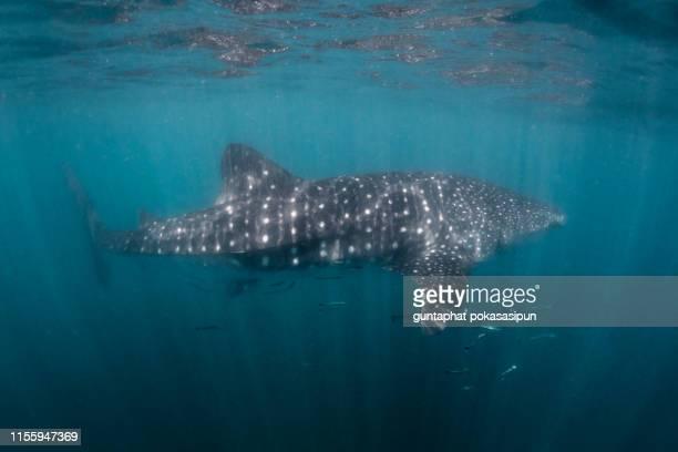 blurry whale shark at the surface - falklandinseln stock-fotos und bilder