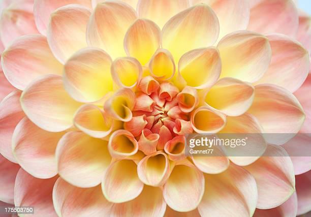 Rosa Dahlie Blüte Nahaufnahme