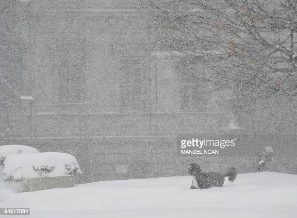 Bo Obama family dog is seen frolicking in the snow outside of the West Wing of the White House on December 19 2009 in Washington A blizzard warning...