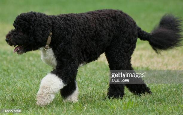 Bo, US President Barack Obama's Portuguese water dog, walks across the South Lawn of the White House in Washington, DC, August 2 prior to Obama...