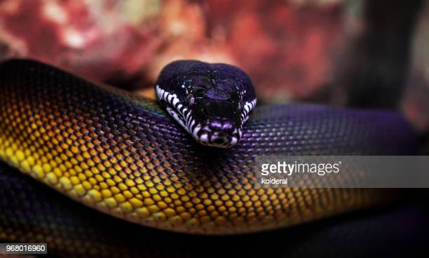 boa close-up - boa constrictor stock photos and pictures