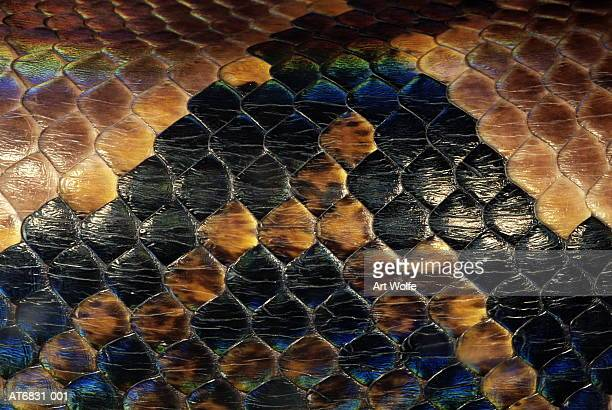 boa (boidae), close-up - boa stock pictures, royalty-free photos & images