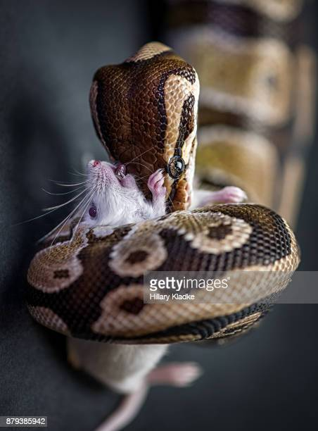 boa constrictor killing mouse - boa constrictor stock photos and pictures