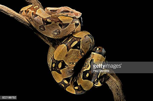 boa constrictor - boa constrictor stock photos and pictures