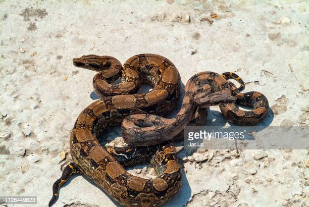boa constrictor – red-tailed boa snake - boa constrictor stock photos and pictures