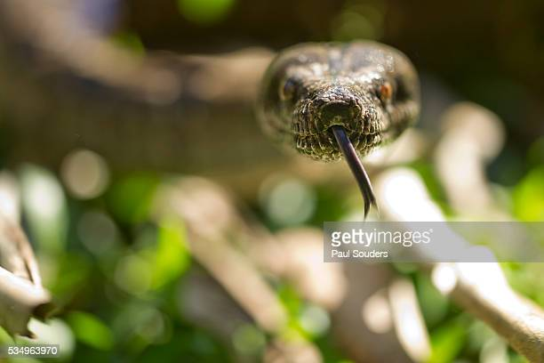 boa constrictor snake, costa rica - boa constrictor stock photos and pictures