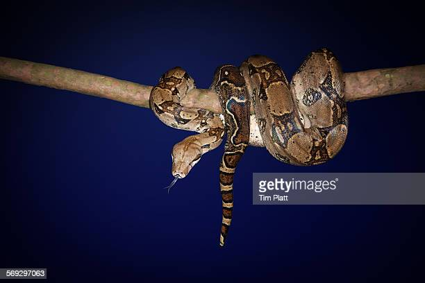 boa constrictor snake wrapped around a branch. - boa stock pictures, royalty-free photos & images