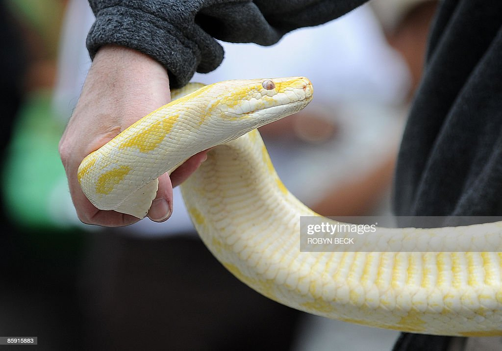 A boa constrictor waits in line to be blessed by Cardinal Roger Mahony at the annual Blessing of the Animals in Los Angeles, California on April 11, 2009. The ceremony, which takes place each year on the day before Easter Sunday, is held in recognition of the services that other species provide to humans. AFP PHOTO Robyn BECK