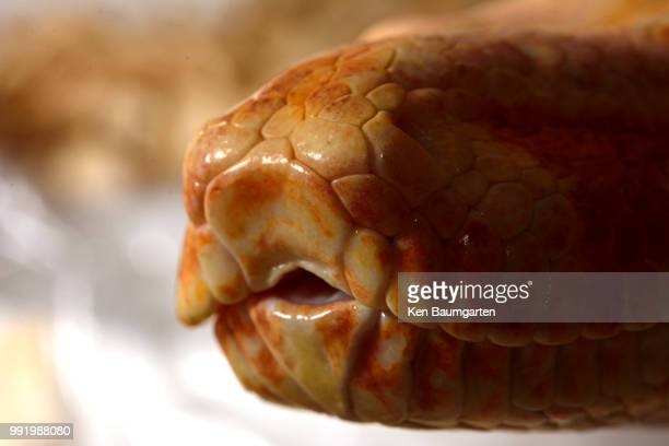 boa lips - corn snake stock pictures, royalty-free photos & images
