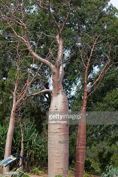 Boab, or bottle tree (Adansonia gregorii) in botanical garden, Kings Park, Perth, Western Australia, Australia