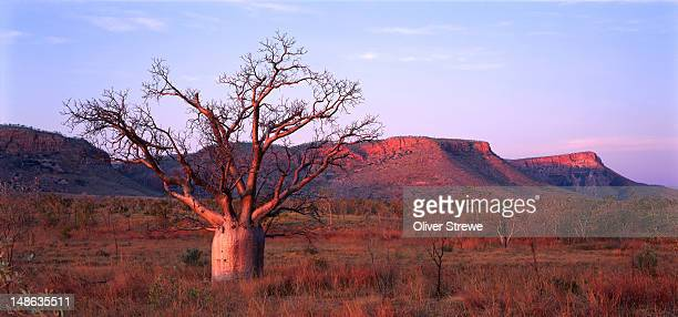 boab tree and escarpment in east kimberley. - escarpment stock pictures, royalty-free photos & images