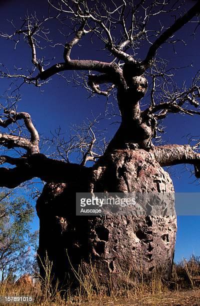 Boab tree the Prison Tree Derby Kimberley region Western Australia