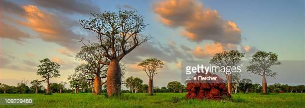 Boab Trees Derby Kimberley WA