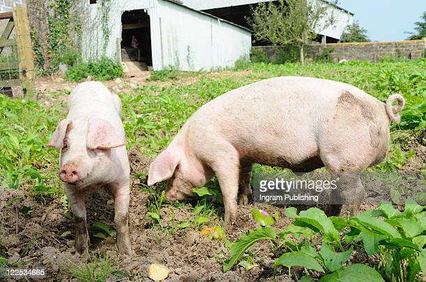Boar and sow weaner on a small holding