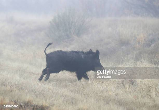 A boar is seen on running near the Rio Grande river which marks the border between Mexico and the United States on January 16 2019 in Candelaria...