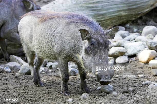 boar - wild hog stock photos and pictures
