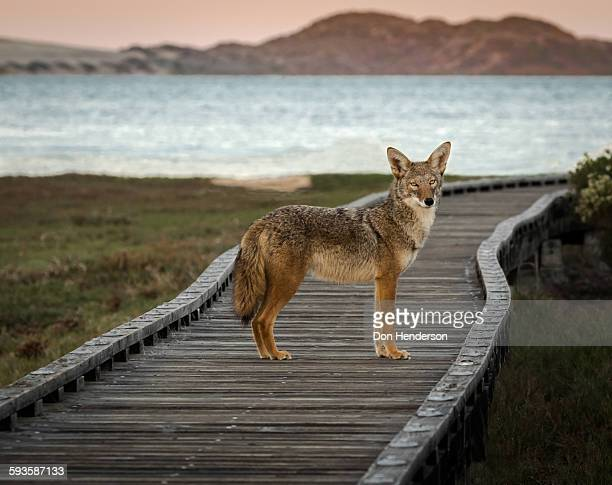board walk companion - coyote stock pictures, royalty-free photos & images