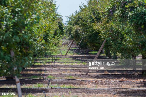 Boards support fruit heavy branches in California prune orchard