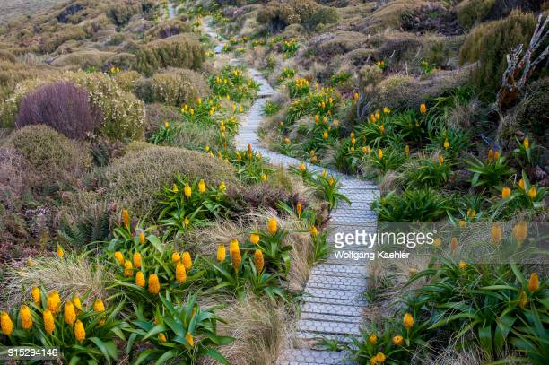 A boardwalk for visitors protects the flora such as yellow Bulbinella rossii flowers commonly known as the Ross lily on Campbell Island a...