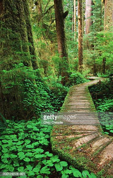 boardwalk running through forest - carmanah walbran provincial park stock pictures, royalty-free photos & images