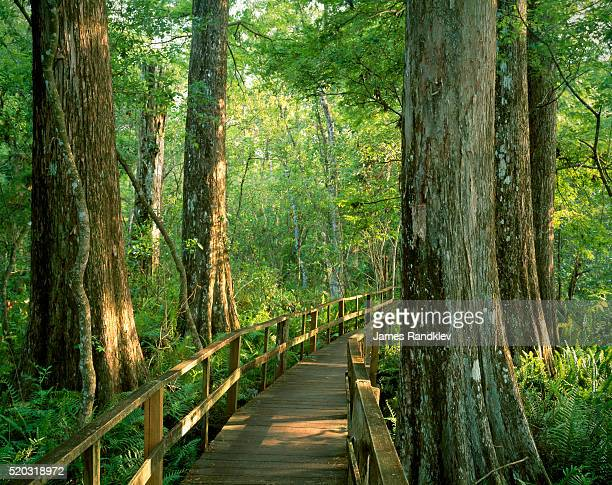 boardwalk through forest of bald cypress trees in corkscrew swamp - bald cypress tree stock photos and pictures