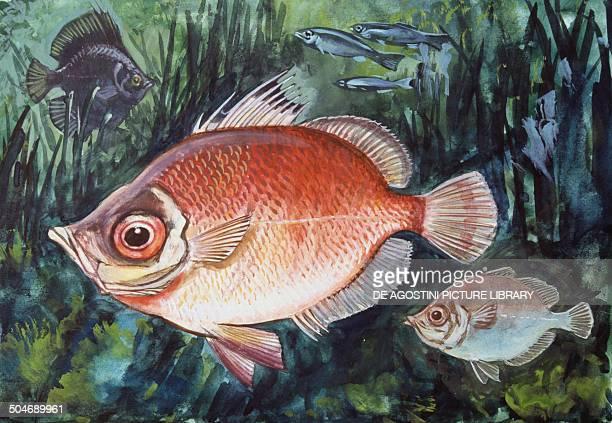 Boarfish Caproidae drawing