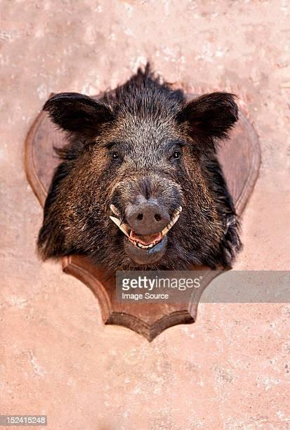boar's head trophy on a wall - wildschwein stock-fotos und bilder