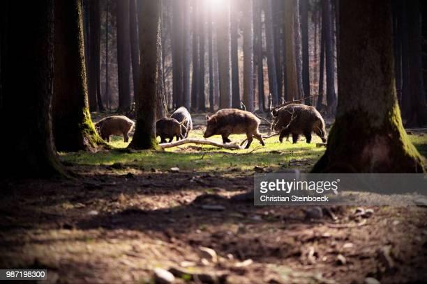 boars in a forest. - wildschwein stock-fotos und bilder