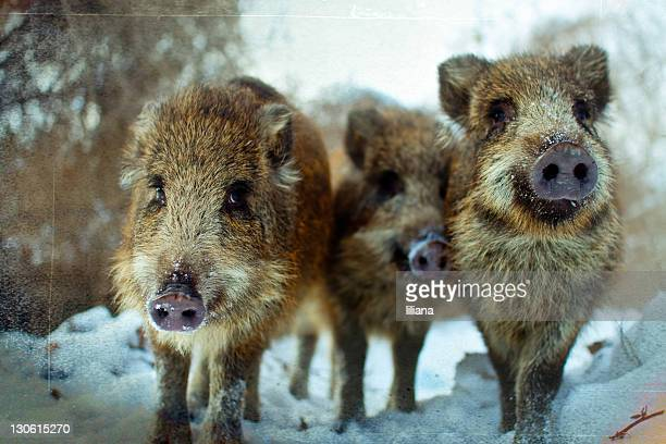 boars - pomorskie province stock photos and pictures