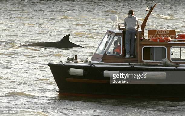 A boat follows a whale spotted in the Thames near Albert Bridge in central London Friday January 20 2006 A northern bottlenosed whale swam up the...
