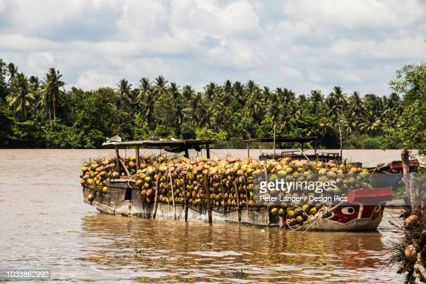 boat laden with coconuts in the mekong river - fruit laden trees stock pictures, royalty-free photos & images