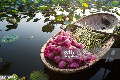 Lotus flower harvesting hanoi vietnam stock photo getty images keywords mightylinksfo