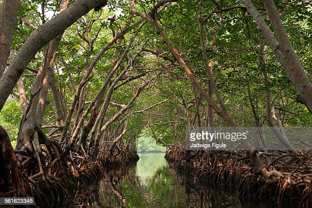 Boat ride through tunnel of mangrove trees.